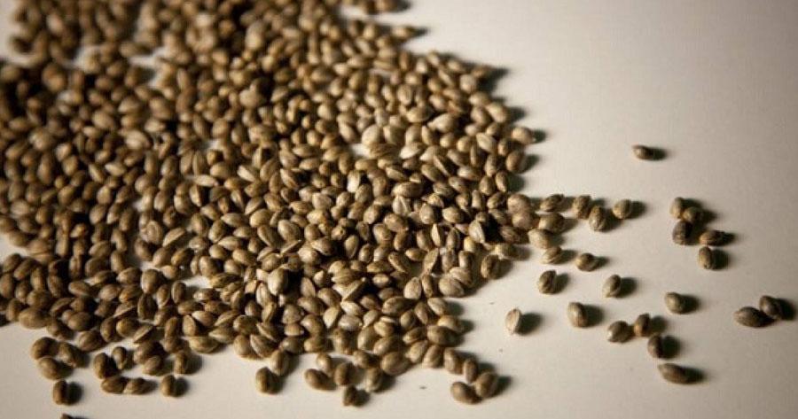 Cómo germinar correctamente semillas de marihuana